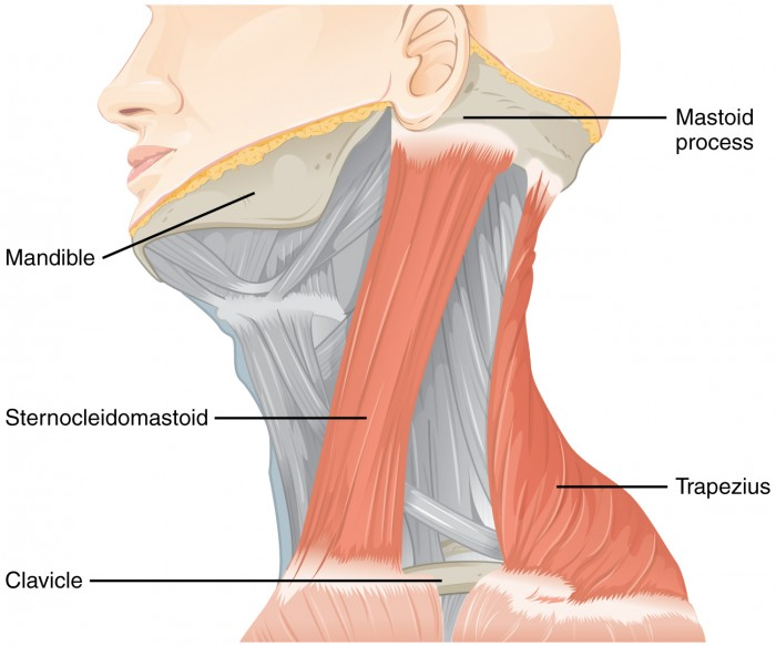 Muscles Controlled by the Accessory Nerve