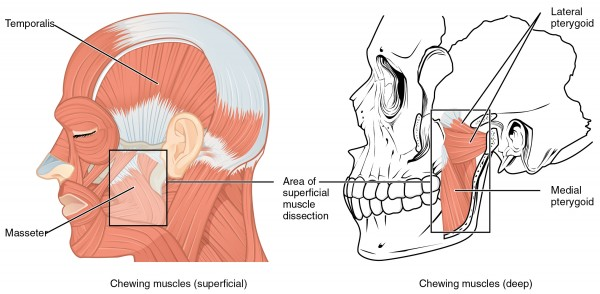 Muscles That Move the Lower Jaw