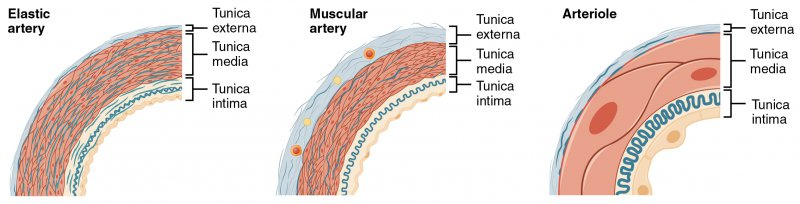 Diagram of Muscular and Elastic Artery Arteriole