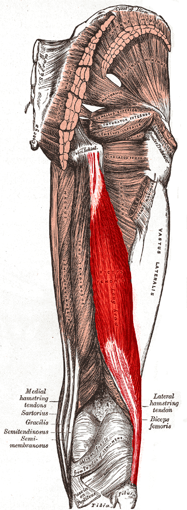 Muscles of the Hip and Thigh | Lecturio Online Medical Library