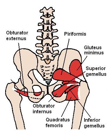 Musculus piriformis