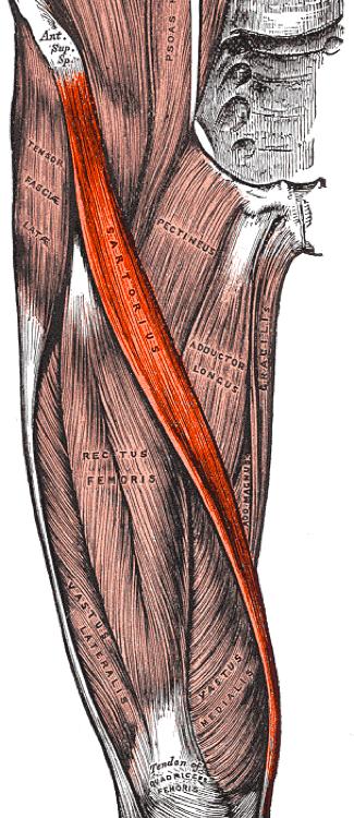 Musculus sartorius