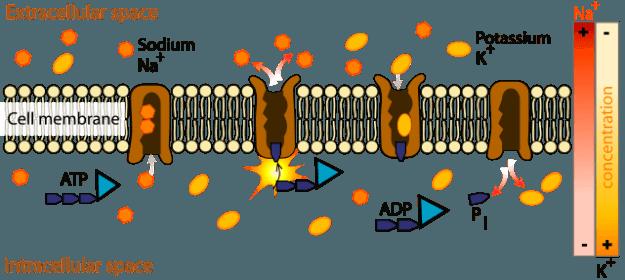 Na+-K+ ATPase
