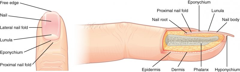 labeled diagram of Nails