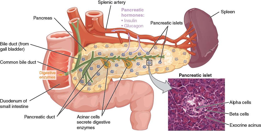 Pancreas: Endocrine and Exocrine Functions | Medical Library