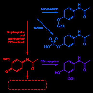 Paracetamol metabolism