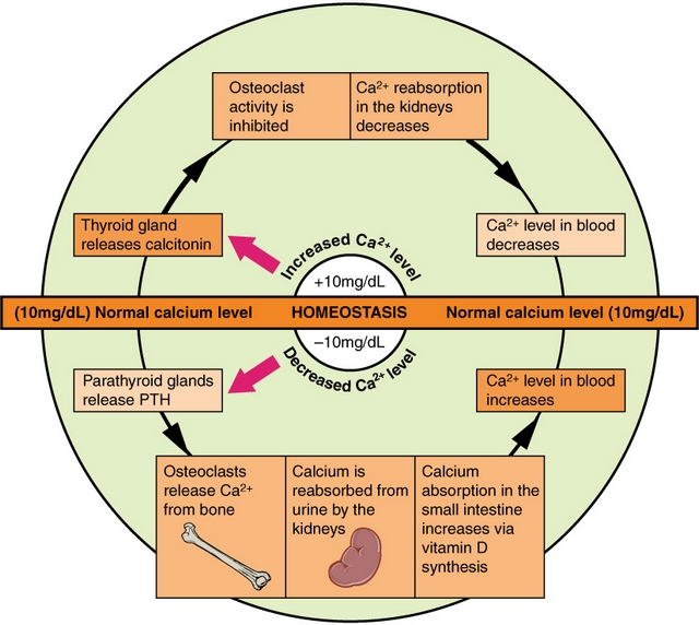 Pathways in calcium homeostasis