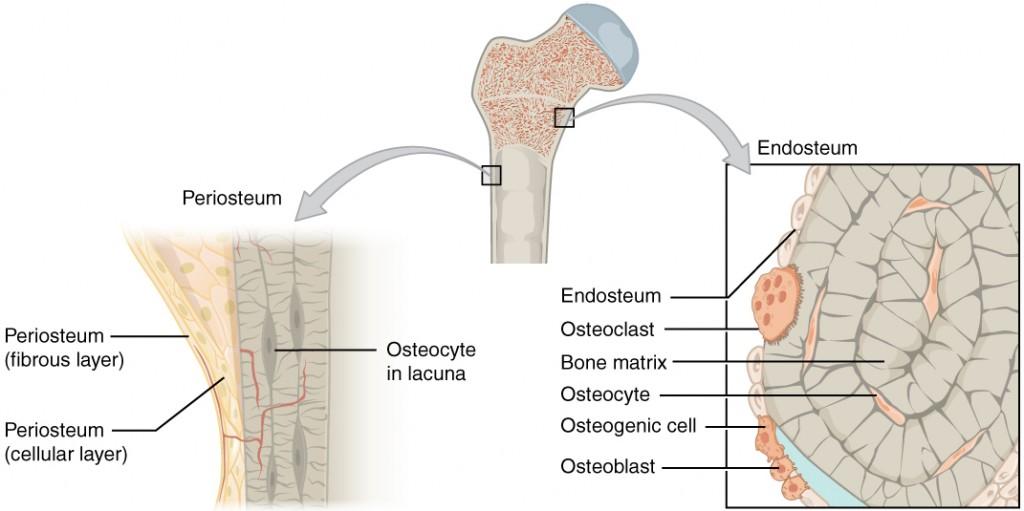 Periosteum and Endosteum