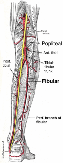 popliteal branches from posterior