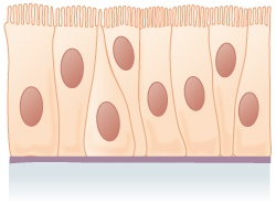Pseudostratified epithelium