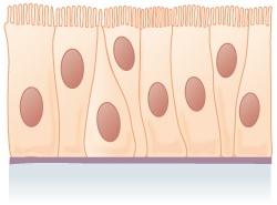 Pseudostratified epithelium