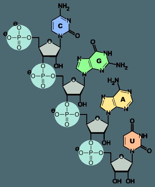 RNA-Nucleobases