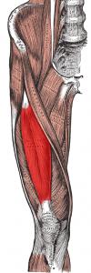 Rectus femoris muscle