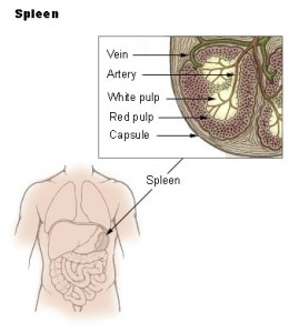 Red and white pulp in the spleen