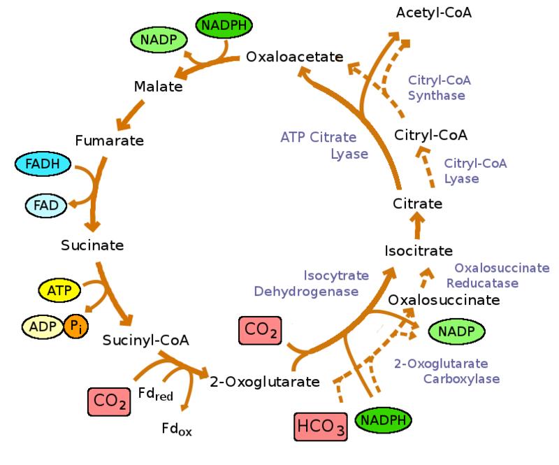 Reductive_TCA_cycle