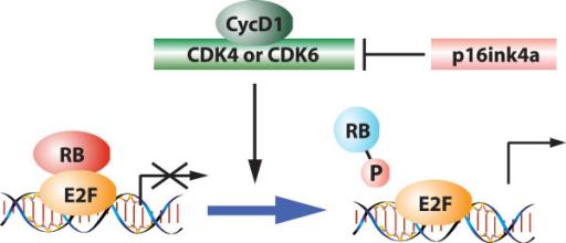 Retinoblastoma-tumor-suppressor-cell-cycle