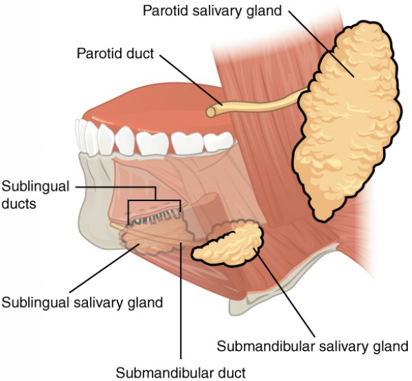 Salivary Glands: Labeled Diagram