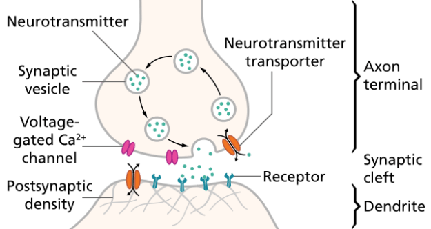 Schematic of a synapse