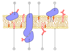 Schematic representation of a cell membrane
