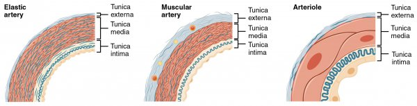 Schematic representation of the arteries and arterioles
