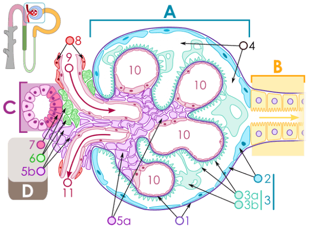 Diagram of renal corpuscle structure