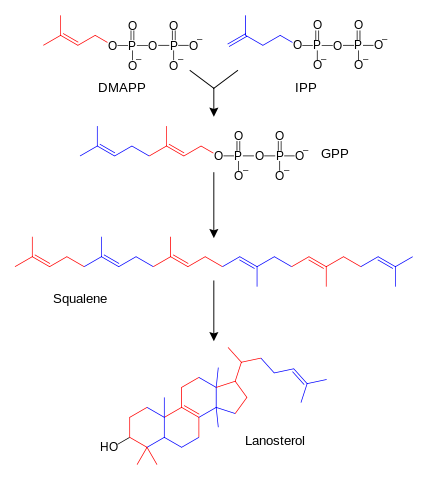 "<a href=""https://en.wikipedia.org/wiki/File:Sterol_synthesis.svg"">Image</a>: ""The Simplified schematic diagram of sterol biosynthesis. Several intermediates have been omitted."" by Fvasconcellos, original by Tim Vickers. License: Public Domain"