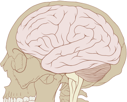 Skull and brain normal anatomy