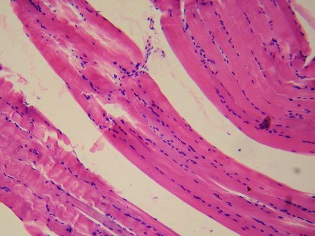 Smooth_muscle_tissue