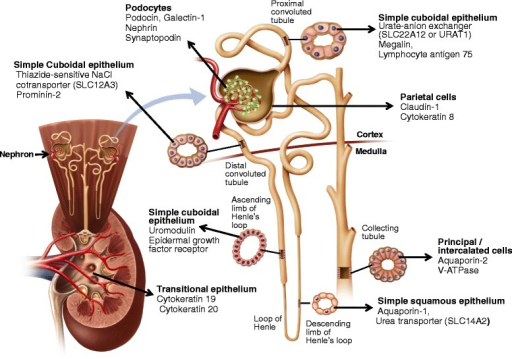 Specific markers were used to identify EVs derived from cells of different segments of the nephron and renal pelvis