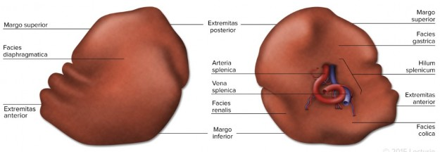 Spleen Structure - Anterior and Posterior View with Labels