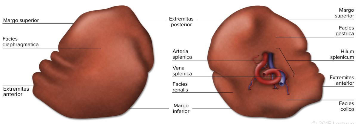 Spleen Anatomy Function And Splenomegaly Medical Library