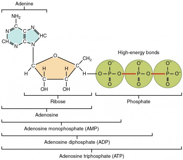 Structure of Adenosine Triphosphate