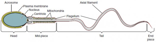 Structure of Sperm