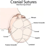 Skull-Sutures-brain-anatomy