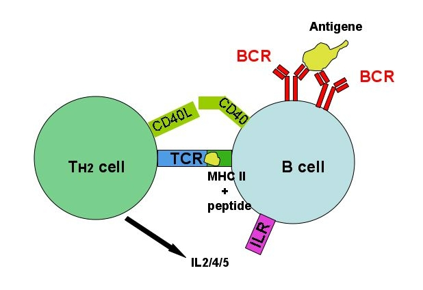 T cell-independent activation of B cells