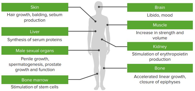 Target-Organs-of-Testosterone
