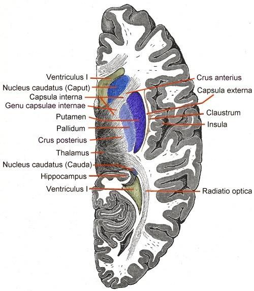 Telencephalon Horiconatal