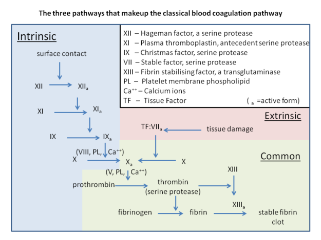 The components and pathways that make up the classical blood coagulation cascade