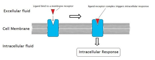 Membrane receptor-ligand complex