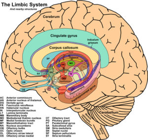 the limbic system and nearby structures