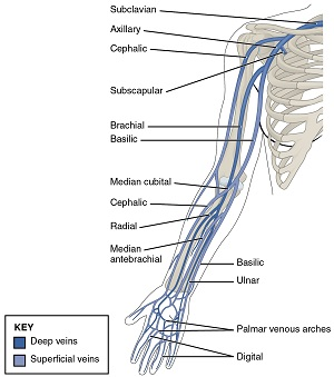 Thoracic-Upper-Limb-Veins