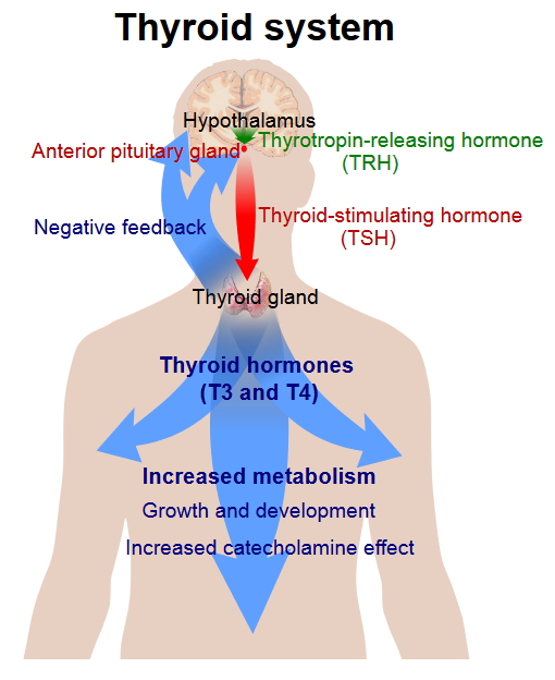 Thyroid System