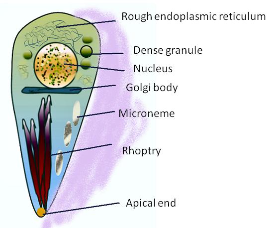 Toxplasma