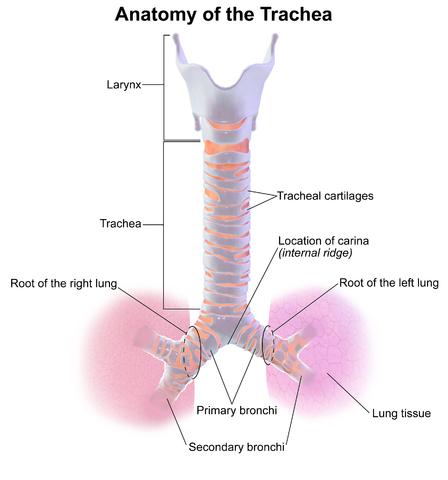 Trachea Anatomy