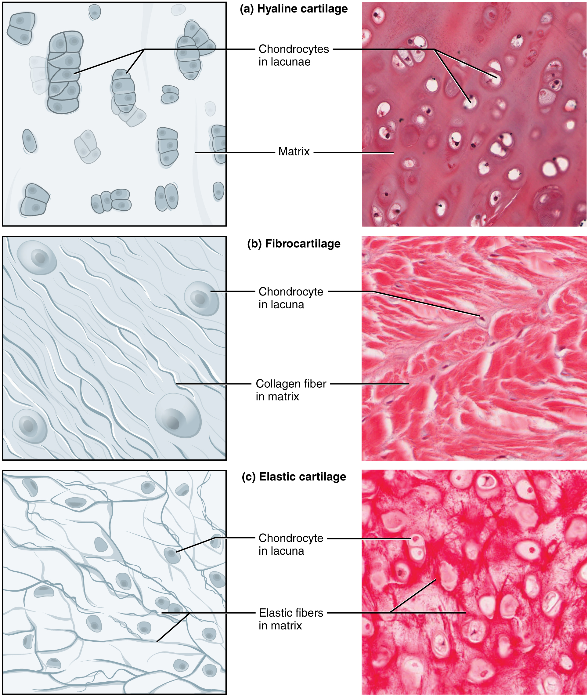Connective Tissue Muscle Tissue Epithelial Tissue Nervous Tissue