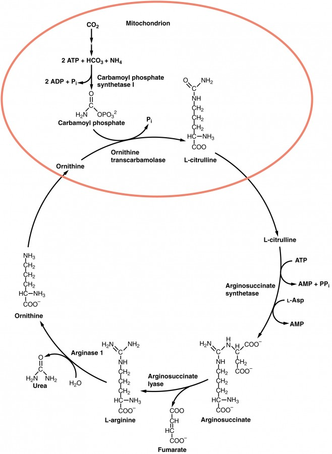 labeled diagram of the Urea Cycle