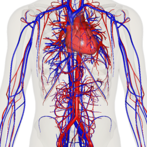 Stationary view of heart, veins and arteries of the human body