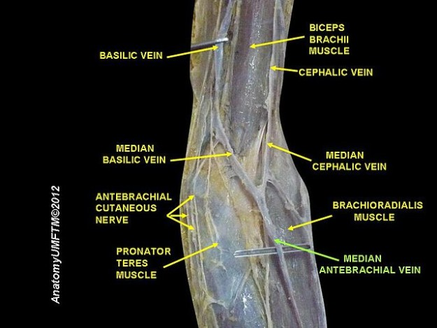 Veins of the Arm: Cutaneous Innervation and Venous Drainage