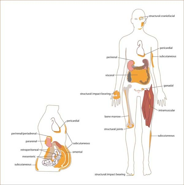 White adipose distribution in the body.