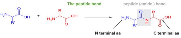 The peptide bond